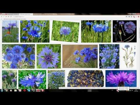Василек синий (волошки) - лечебные свойства, рецепты