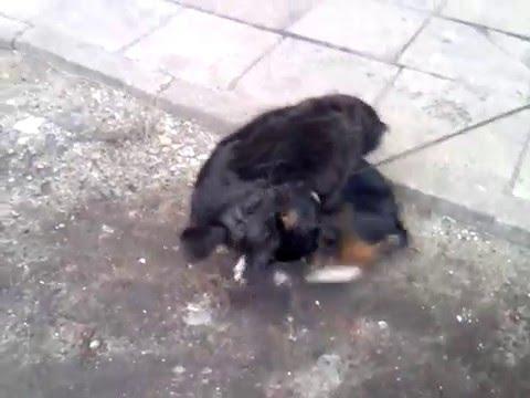Suka rąbie w mordę psa