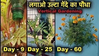 कैसे लगाए गेंदे का पौधा उल्टा खाली बोतलों में l Vertical Gardening l Best Trick To Grow Marigold