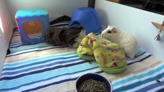 Introducing Neutered male Guinea Pigs to females
