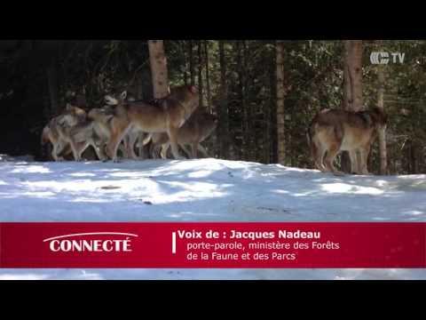 Loup à Ste-Adèle