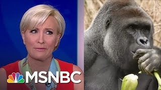 Morning Joe Weighs In On Harambe: 'You Should Not Be Able To Get To A Gorilla' | Morning Joe | MSNBC