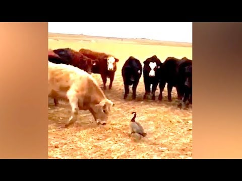 Ozzy Man Reviews: Goose vs Cows