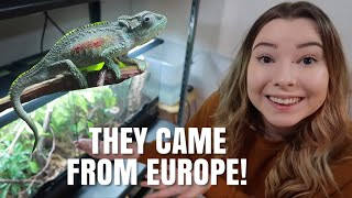 My Secret RARE Chameleons Who Were shipped From EUROPE! - Road Trip To Get Them + Cage Setup