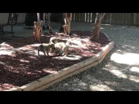 Bullmastiff/Shepherd Puppies