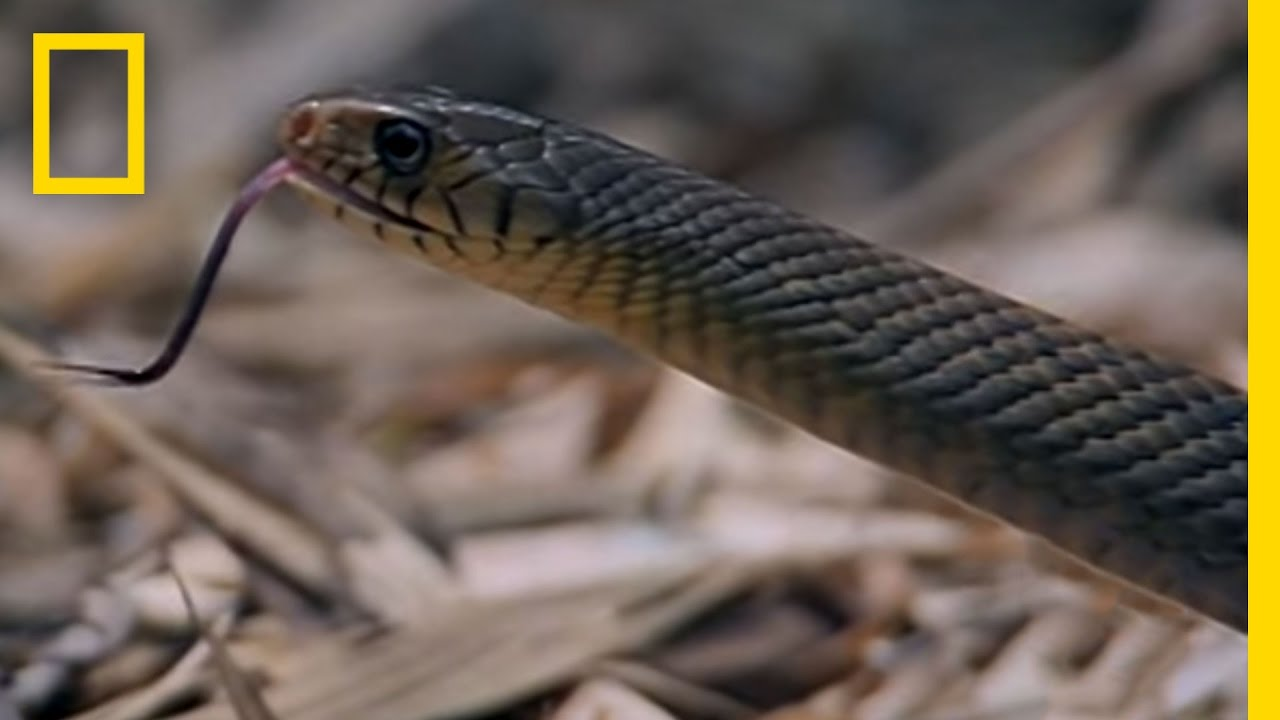 Cobra vs. Rat Snake | National Geographic - YouTube