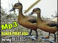 Suara Burung Belibis Betina Ampuh Untuk Pikat Master Pikat Burung Belibis  Mp3 - Mp4 Download