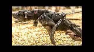 ピット・ブルは、ただちに権力、情熱、不義の意欲の犬であると暴力を振...