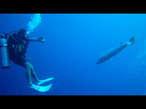 Giant Barracuda Charging Group Of Divers