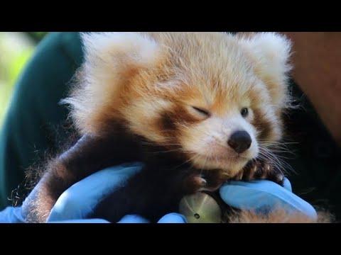 Cute alert: Red panda cub gets health check at Aussie zoo