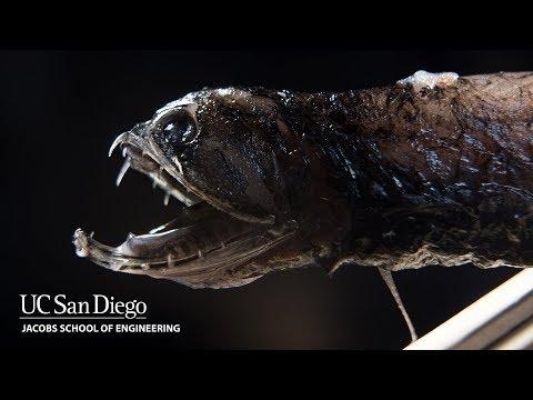 What Makes Deep-sea Dragonfish Have Transparent Teeth?