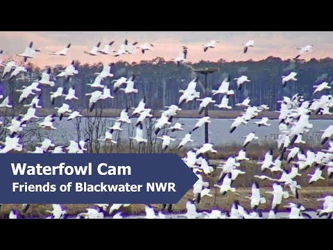 Snow Geese Arrive At Blackwater NWR On Waterfowl Cam | 1.7.19
