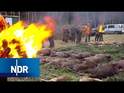 Wildschweine Außer Kontrolle | Doku | 45 Min | NDR