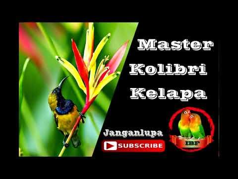 Kolibri Manggar (Anthreptes Singalensis) Cocok Untuk Masteran