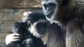 Cute baby Lar gibon and mom.可愛いシロテテナガザル母子。