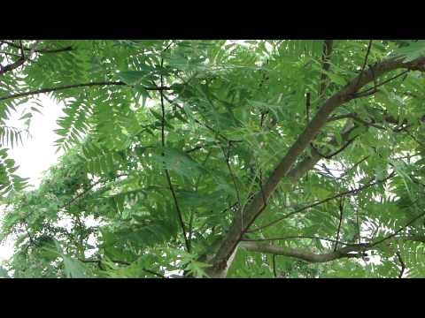 Medicinal Plant used for Chronic Pelvic Pain - Pankaj Oudhia