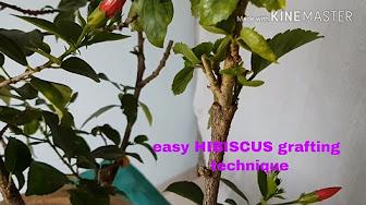 Hibiscus - YouTube