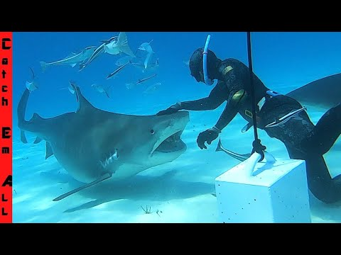 pregnant-tiger-shark-bites-but-he-survived!