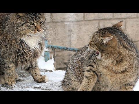 Striped kitten hisses at fluffy cat