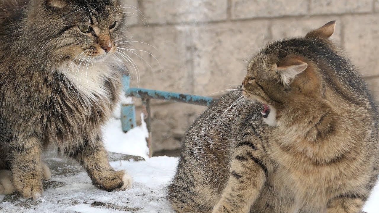 species of wild cats
