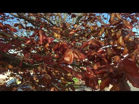 Copper Beech (Fagus sylvatica f. purpurea) - leaves in the wind - May 2018