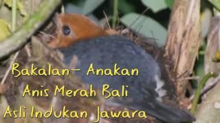 081386333136,Jual burung anis merah bali murah,berkualitas,bagus di jakarta indonesia