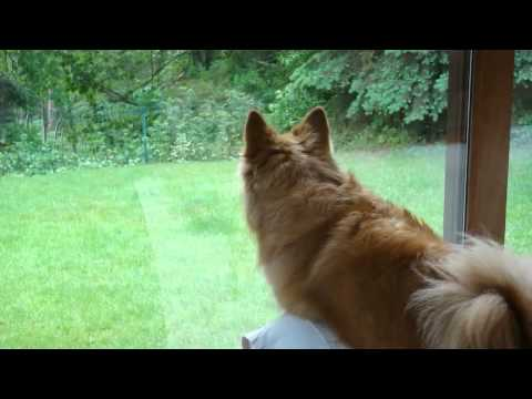 Icelandic sheepdog Alisa barking at the squirrels