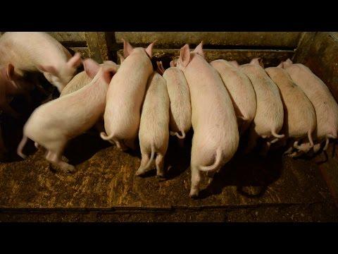Содержание свиней на глубокой подстилке. Хозяйство Елены Мороз, Уфа