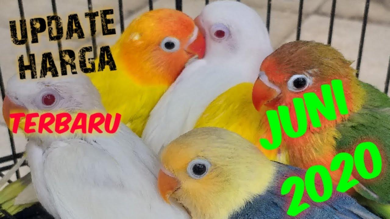 Beli lovebird anak terbaru di blibli ✔️ produk original ✔️ gratis ongkir. UPDATE HARGA LOVEBIRD TERBARU BULAN JUNI 2020 || lovebird price updates in June 2020 - YouTube