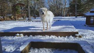 Telling a Great Pyrenees to Come