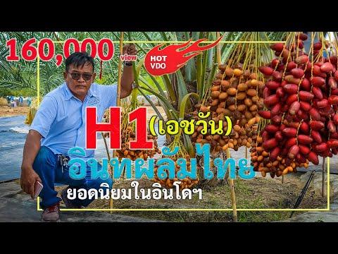 อินทผลัม H1 สายพันธุ์ไทย ดังไกลถึงอินโดฯ