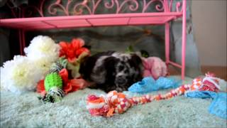 Cocker Spaniel Puppies For Sale **www.maryscockerhaven.com** 710-306-8118