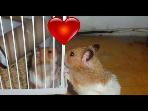 'Hamster' Enamorado. My hamster's girl. HD[1080]