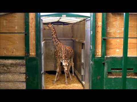 Giraffe Arrive at Port Lympne Wild Animal Park