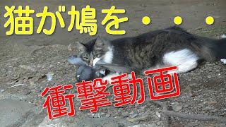 【閲覧注意】猫が鳩を仕留めた瞬間 Cat Hunting Pigeon thumbnail