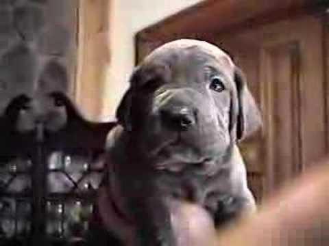 Neapolitan Mastiff Puppy 4 Weeks Old Quot Big Brutus Quot Youtube