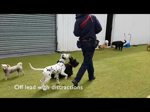 Monty The Dalmatian Puppy, During The Complete Training Programme At Royvon Merthyr!