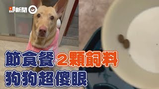 狗狗看到「節食餐」好錯愕!主人只給2科飼料...米克斯瞪大眼皺眉覺得被欺負XD|測試|反應|寵物