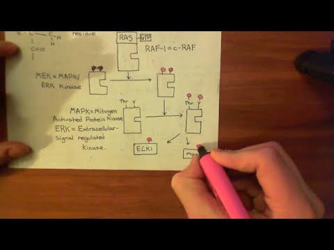 The Insulin Receptor Part 4
