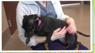 Haddie, A 4 Year Old Miniature Pinscher Mix Available For Adoption At The Wisconsin Humane Society.