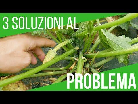 LE ZUCCHINE DIVENTANO GIALLE E MARCISCONO: SOLUZIONE |  How to grow Italian zucchini