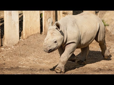 Have you visited Lulu the rhino at Cleveland Metroparks Zoo?