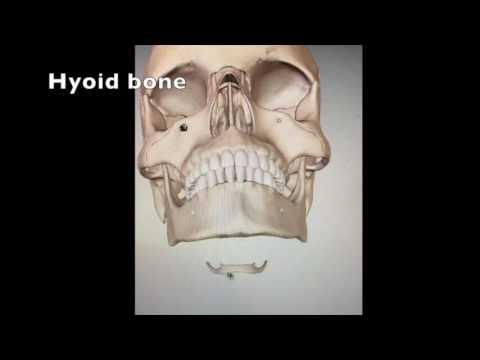 Quick Head And Neck Anatomy Youtube