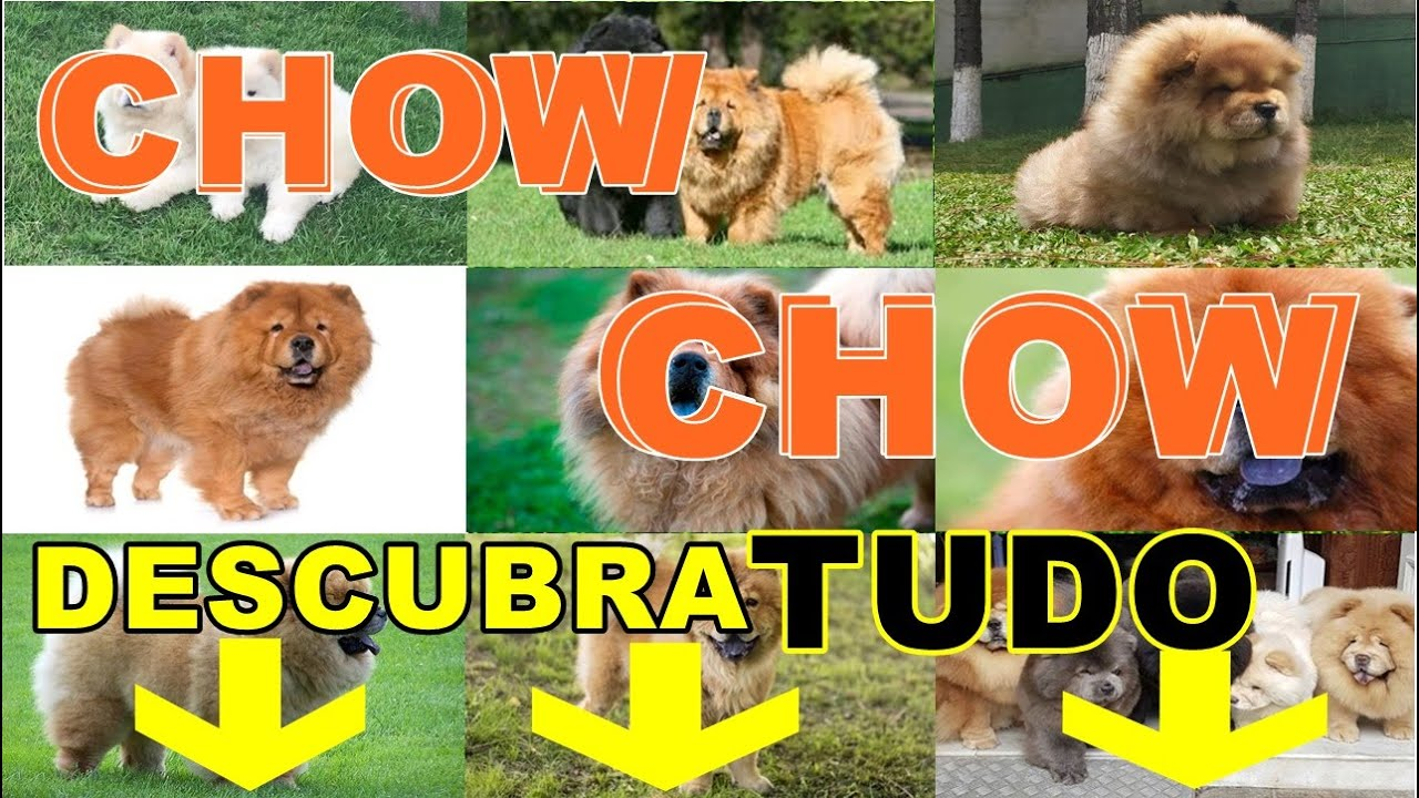 Chow Chow I chow chow 101 com um especialista de chows e amigos