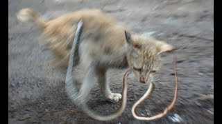 Cat vs Snake - Amazing Cat Attack - Clear-HD【kitten eat snake】