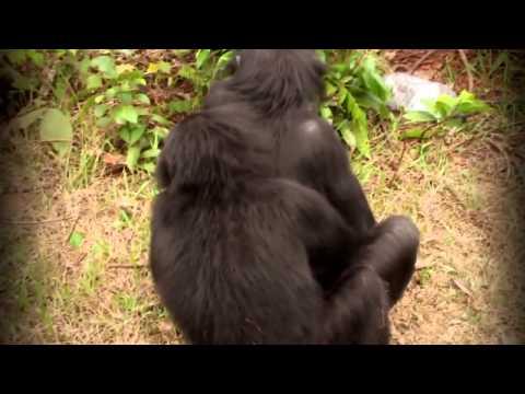 Как спариваются шимпанзе видео