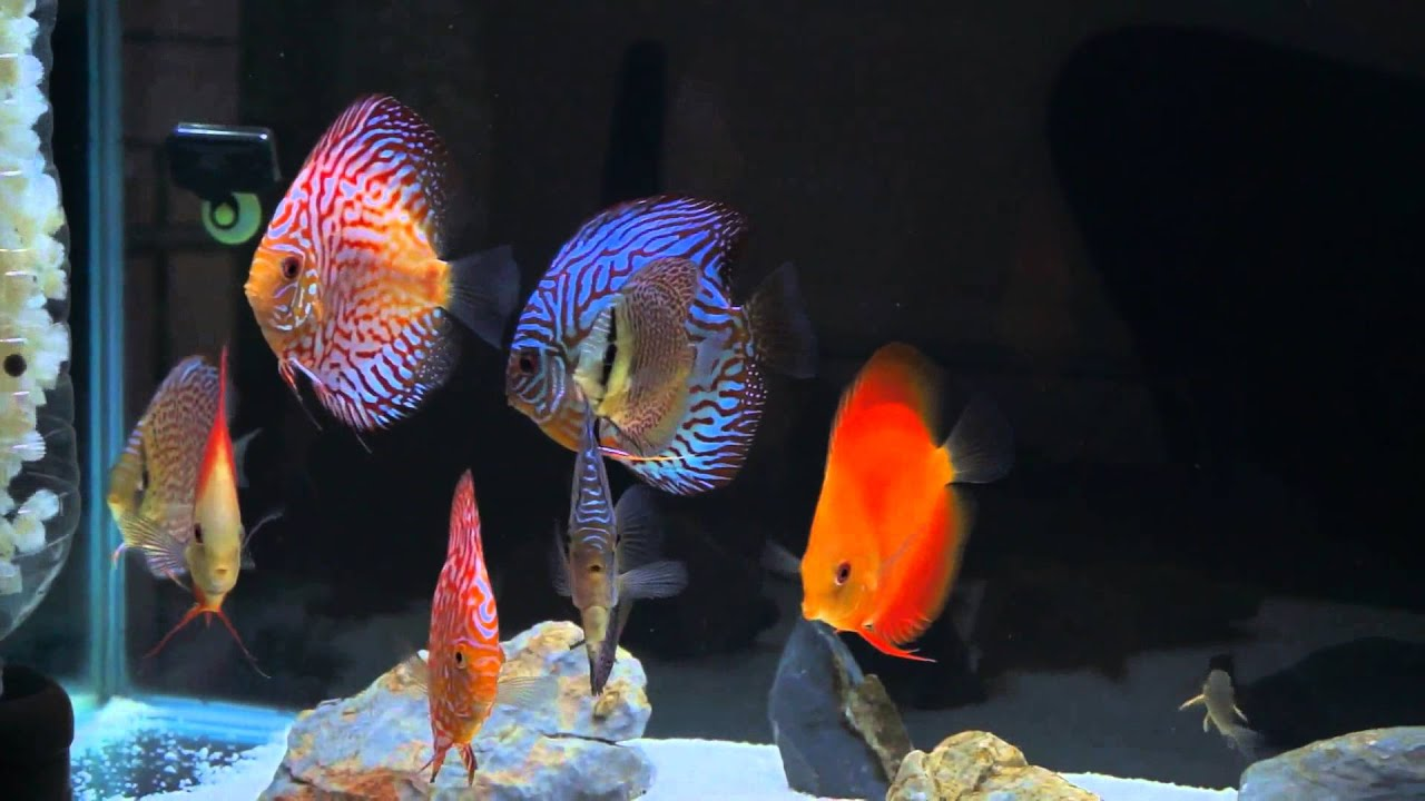 Fish Tank Wallpaper Hd My Discus Fish Tank Hd Youtube