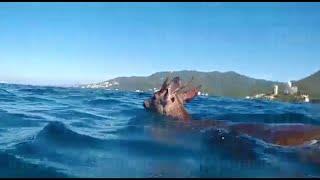 Increíble: Rescatan a venado en mar de Puerto Vallarta