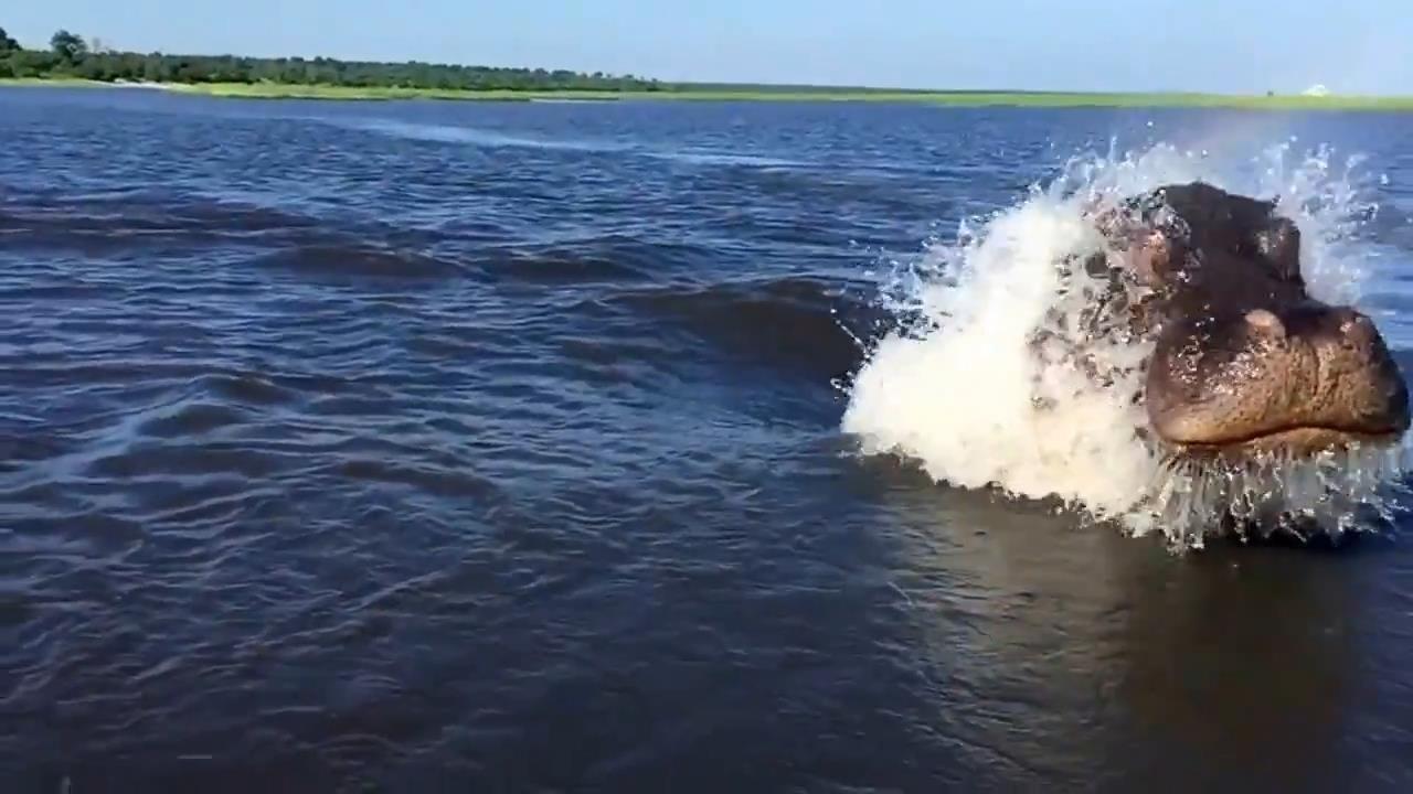 бегемот гонится после лодкой видео