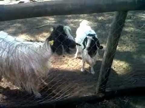 La Fattoria Degli Animali ! Animal Farm